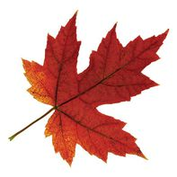 Fall Maple Leaf Temporary Tattoo