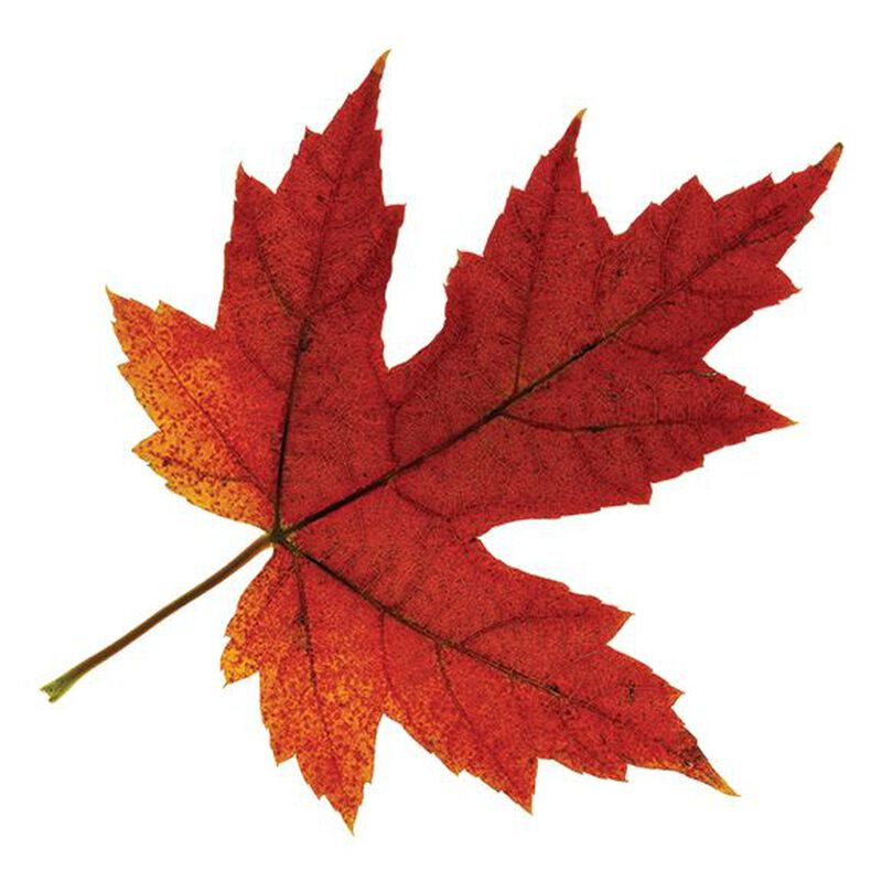 Fall Maple Leaf Temporary Tattoo image number null