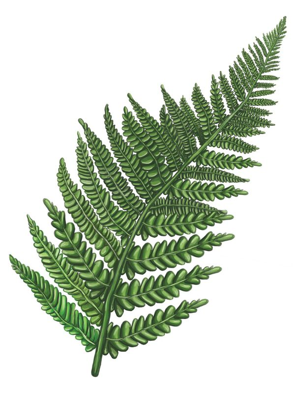 Fern Leaf Temporary Tattoo image number null